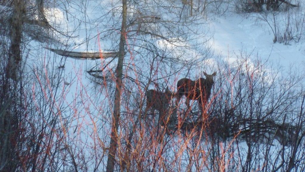 Greenough Park Moose