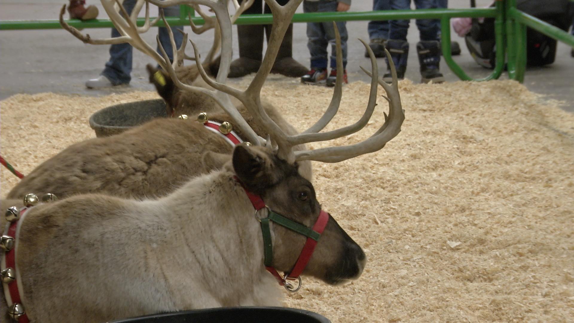 Murdoch's Reindeer