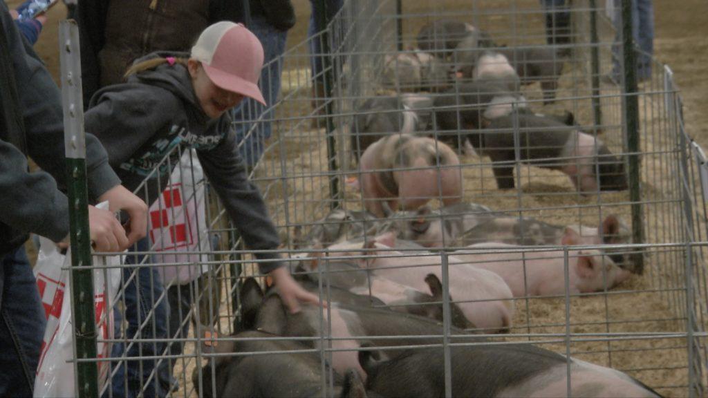 Show Pig Auction